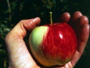 Crab apple, uma flor de Bach para baixar de peso rapidamente